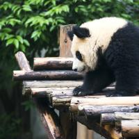 Giant Panda Breeding & Research Centre